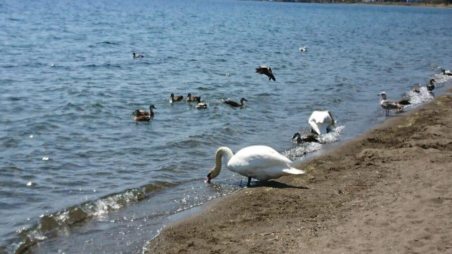 swan at lake Toya
